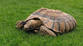 Tortoise Eating In The Grass stock video footage