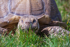 Tortoise. Eating grass in the sun Royalty Free Stock Photo