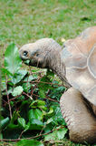 Tortoise eating leaves. Close up of a tortoise eating leaves stock images