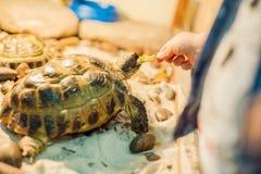 Tortoise eating leaves stock images
