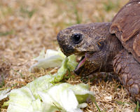 Tortoise eating lettuce leaves Royalty Free Stock Images