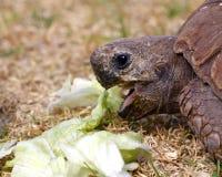 Tortoise eating lettuce leaves Royalty Free Stock Images