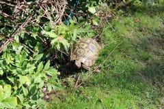 Tortoise eating lettuce leaves. Uk royalty free stock photo