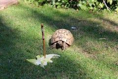 Tortoise eating lettuce leaves. Uk stock photography