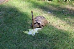 Tortoise eating lettuce leaves. Uk stock photos
