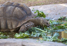 Tortoise. Eating lettuce - South Dakota royalty free stock image