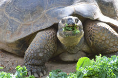 Tortoise eating salad. A large tortoise eating a variety of greens stock photography