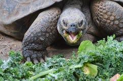 Tortoise eating salad 2 Royalty Free Stock Image