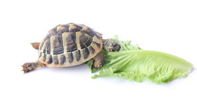 Tortoise eating salad. Small Tortoise eating green salad stock footage