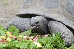 Tortoise eating salad2 Royalty Free Stock Photography