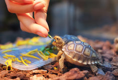 Tortoise eating some vegetables Royalty Free Stock Photo