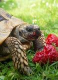 Tortoise eating strawberries Royalty Free Stock Photos