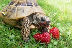Tortoise eating strawberries Stock Images