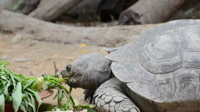 Tortoise eating vegetable. In nature stock video footage