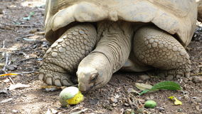 The tortoise eats. Stock Photography