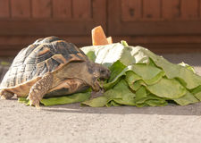 Tortoise eats lettuce. In the garden royalty free stock photos