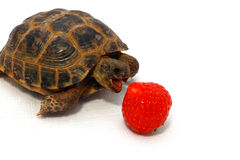 Tortoise eats strawberry Royalty Free Stock Photography