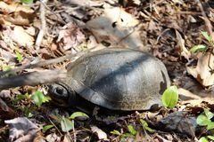 Blanding Turtle Stock Photos