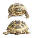 Tortoise face and back | Isolated. Two views (face and back) on 13 years overland tortoise which is living in central asian region. Isolated on white background Royalty Free Stock Images