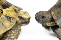 Tortoise Face to Face Royalty Free Stock Images