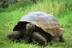 Tortoise feeding (Galapagos islands, Ecuador) Stock Photos