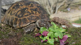 Tortoise feeding in spring Royalty Free Stock Photography