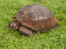 Tortoise in Field Stock Image
