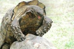 Tortoise flag farm. Passionate tortoise mating Royalty Free Stock Photos