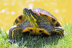 Tortoise of Florida. In grass Royalty Free Stock Image