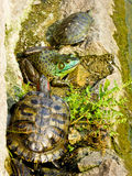 Tortoise and frog inside Zhanshan Temple. A green frog and few turtles near a pool inside Zhanshan Temple in qingdao city shandong province China Royalty Free Stock Photo