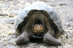 Tortoise, Galapagos Stock Photos