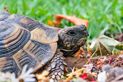 Tortoise in garden Royalty Free Stock Images