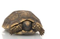 Tortoise Giallo-footed sudamericano Fotografia Stock