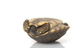 Tortoise Giallo-footed sudamericano Fotografia Stock Libera da Diritti