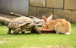 Tortoise and giant rabbit Royalty Free Stock Photo