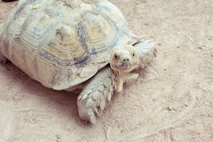 Tortoise. Giant tortoise Look at the camera, in Thailand Royalty Free Stock Photography