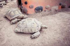 Tortoise. Giant tortoise Walking Stock Image