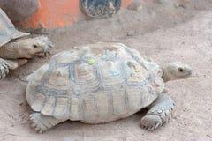 Tortoise. Giant tortoise Walking Stock Images