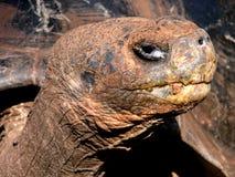 Tortoise gigante immagine stock