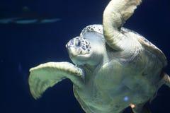 Tortoise gigante in acqua Fotografia Stock Libera da Diritti