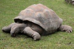 Tortoise gigante del Galapagos fotografie stock libere da diritti