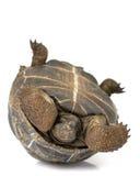 Tortoise gigante di Aldabra Fotografia Stock Libera da Diritti