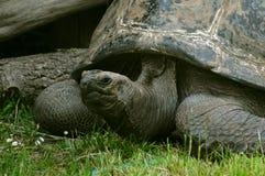 Tortoise gigante di Aldabra (Aldabrachelys Gigantea) Fotografie Stock Libere da Diritti