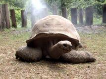 Tortoise gigante felice Fotografia Stock Libera da Diritti