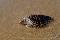 Tortoise is going into the sea on the sand beach Stock Images