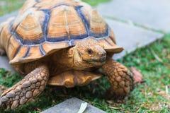 Tortoise Golden Stock Image