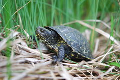 Tortoise in grass. Side view of tortoise in long grass outdoors Royalty Free Stock Photo