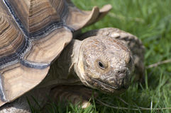 Tortoise in grass Royalty Free Stock Images