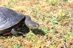 Tortoise on grass in backyard Stock Image