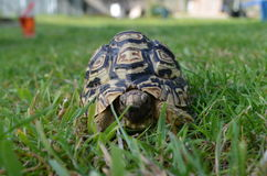 Tortoise In the Grass. Colour photograph of a tortoise walking in the grass Stock Photos